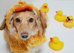 A different kind of duck (Doxieone) Tags: dog cute english fall halloween yellow duck costume long cream rubber dachshund honey tub blonde 2008 haired 31 orang coll longhaired honeydog englishcream honeyset halloweenfall2008set