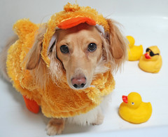 The economy might stink, but everything is just Ducky around here (Doxieone) Tags: orange dog cute english fall halloween yellow fun bathroom duck costume bath funny long cream rubber dachshund honey tub blonde 2008 haired duckie coll longhaired final1 honeydog ggggg englishcream honeyset petsaroundtheworld 45015103008 halloweenfall2008set