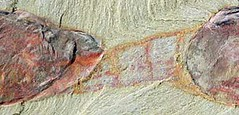 Fossil detail