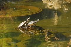 Rughe (rosset86) Tags: tartarughe arenzano nikond80 18200vrdx parcoarenzano