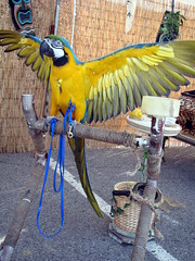 100 Things to see at the fair #46: Blue & Yellow Macaw