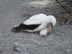 Nazca booby at Galapagos (Stereomania) Tags: travel nature ecuador 2006 galapagos genovesa naturethroughthelens