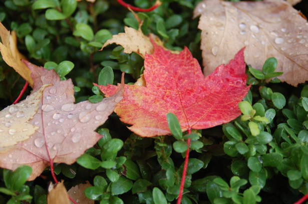 autumn_leaves_raindrops_shrub