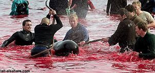 2008-11-03 - Kinship Circle - ACT - Whale Bloodbath In Danish Faeroe Islands 01