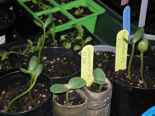 Watermelon seedlings
