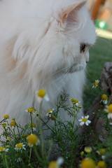 il mio gatto e Margaritas (un petit sourire) Tags: summer cats sun white animals marie photo nikon photographer maria think 8 mitzi margaritas margarites d40 bestofcats nikond40 unpetitsourire