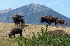 Bison at Waterton Lakes National Park
