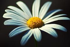 "Meet ""Hazy"" Daisy.. (SonOfJordan) Tags: light shadow blur flower colour macro nature closeup canon eos amman jordan daisy xsi 450d mywinners  samawi 450ddigital sonofjordan shadisamawi  wwwshadisamawicom"