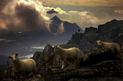 Lofotlambs (steinliland) Tags: mountains fog clouds bravo sheep lambs lofoten soe lofotenislands naturesfinest vestvågøya platinumphoto impressedbeauty ishflickr thebestofday gününeniyisi steinliland toisóndeoro himmeltinden worldsartgallery