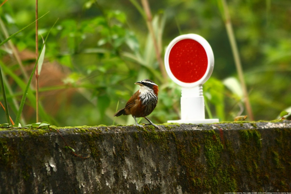 小彎嘴 Streak-breasted Scimitar-Babbler - IMG_1402