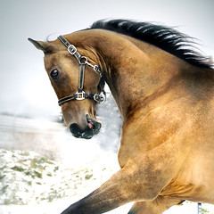 white gold (Dan65) Tags: winter 2 horse white snow ice speed gold golden head run explore canter gallop buckskin dun teke akhal akhalteke gazan onephotoweeklycontest