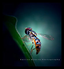 Hoverfly (Karina Diarte de Maidana) Tags: insect paraguay hoverfly syrphidae abigfave theunforgettablepictures karinadiarte