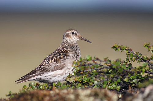 Calidris maritima photo