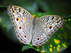 Grey Pansy (Dorsal view) (Dr. Tarak N Khan) Tags: soe naturesfinest blueribbonwinner supershot indianbutterflies worldbest anawesomeshot theunforgettablepictures flickrestrellas 100commentgroup butterflydiversity