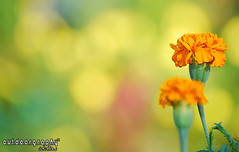 Outdoorgraphy : Orange & Yellow Bokeh (Sir Mart Outdoorgraphy) Tags: orange flower macro green yellow dof bokeh d0f hbw penangflickr awesomeblossoms hbwe sirmart outdoorgraphy outdoorgraphy penangflickrgroup