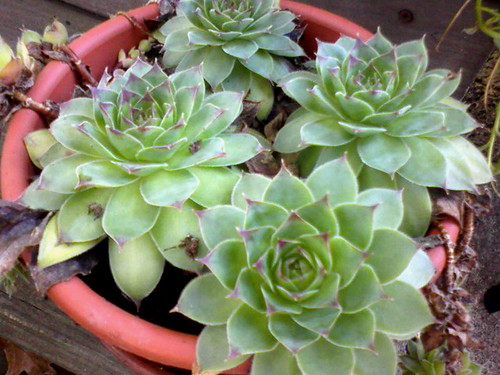 hens.and.chicks