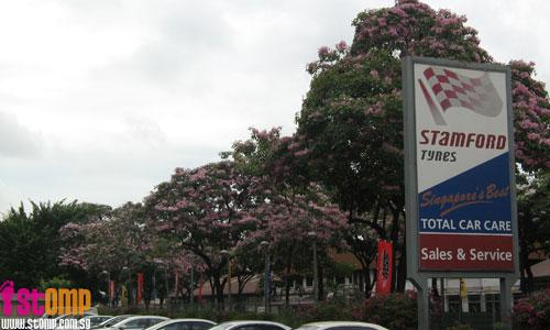 Beautiful pink flowers in Jurong resemble cherry blossoms