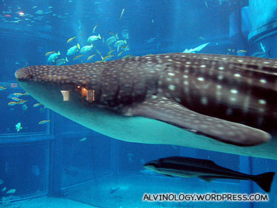 Behold the whale shark!