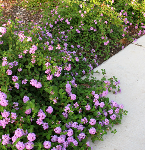 Trailing purple lantana