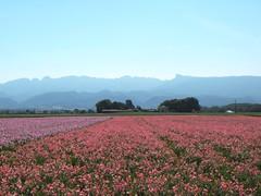 Tutu rose pour Vercors bleu. (Betua) Tags: fleur rose montagne bleu paysage vercors valence drôme montélier