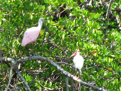 IMG_5787-Estero-Bay-spoonbill-ibis