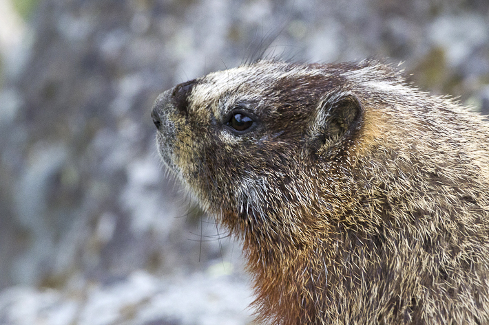 061111_yellowBelliedMarmot01