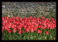 TULIP DAYS At Gulhane Park, Istanbul 2007 (Kuzeytac) Tags: travel pink red flower color colour green texture nature wall turkey geotagged spring trkiye turkiye istanbul tulip geotag topkapi leyla doku bahar iek yeil lsi duvar lale gulhane krmz sarayburnu doa tabiat pembe goldmedalwinner hpphotosmartm425 platinumheartaward kuzeytac photofaceoffchallenge1 copyrightedallrightsreserved aqualityonlyclub
