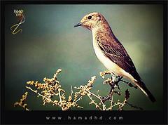 Waiting ... (Hamad Al-meer) Tags: bird birds canon eos waiting zoom hd hamad 30d حمد 100400 طير كانون طائر betterthangood hamadhd hamadhdcom wwwhamadhdcom زوم