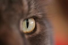 15 Quincy (CatsFrauPau) Tags: male eye cat canon eos 350d quincy mainecoon katze alphabet makro canoneos350d eos350d canoneos auge märz canoneosdigitalrebelxt catseye tanja cateye ratingen eosdigital katzenauge eosrebelxt photoalphabet photoalphabet2008 märz2008 buchstabeq
