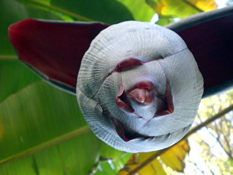 banana-blossom-valencia