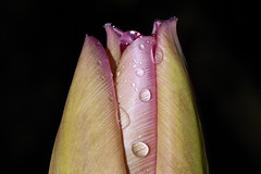 Budding Heraldine of spring :-) (Britta's photo world) Tags: ireland fab plant macro water drop tulip bud britta 60mmf28dmicro niermeyer