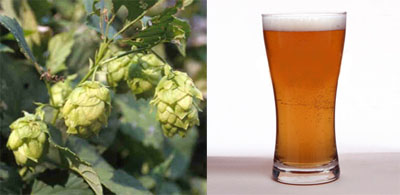 Hops and Beer