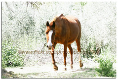 "Maya coming to ""get"" me.. (pongo 2007) Tags: horses horse caballo cheval europe maya cavallo cavalo pferd equus paard ceffyl yearofthehorse eternalquestfortreats pongo2007"
