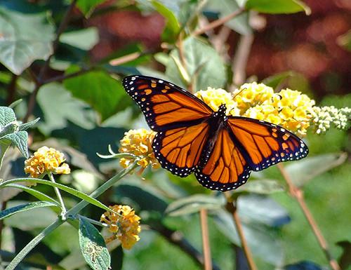 Butterfly - Image: Flickr.com Bob Katayama