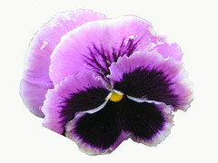 Pretty Two-Tone Purple Pansy On White (Chrisser) Tags: flowers ontario canada nature photoshop garden spring gardening fourseasons closeups pansies violaceae flowerfactory floweronwhite olympuscamediac765