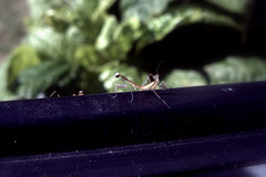 Terrarium Escape (OakleyOriginals) Tags: mantis escape eggsac prayingmantis hatching mantid mantodea babymantids