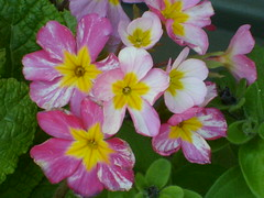 Flowers with yellow center (Kohn.Rebecca) Tags: primrose
