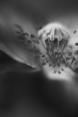 (cara.) Tags: flowers light summer bw flower 50mm mono x poppy poppies wildflowers wildflower angelic araicon jun  ralphwaldoemerson lpc kenko aracay 2oo8 bythelakes cara 20080606127078bw lpcabstract10232008 k2oo9 photoshopfordesatonly expo10 meadex1 gw4d