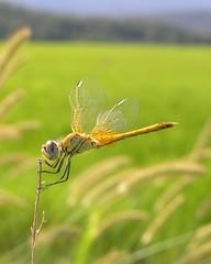 Libellula nelle risaie (osserv@r) Tags: macro closeup dof estate dragonfly bokeh siena toscana grano libellula risaia naturalmente naturesfinest risaie bokehlicious abigfave