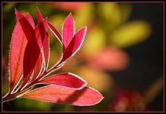foglierosse (un po' pelose) (iana) Tags: colors foglie controluce sanleucio sfocato