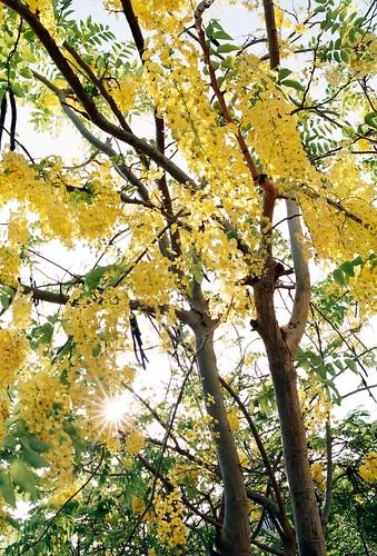 五月的金黃