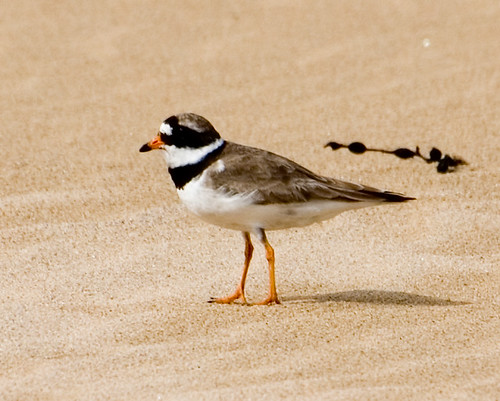 Ringed plover 2