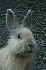 pip qui parle (SpUtNik 23 -RUR und MKZ) Tags: rabbit pepper dwarf pip mal lapin poivre bestiole nain rongeurs pissou sergent embouch lagomorphes