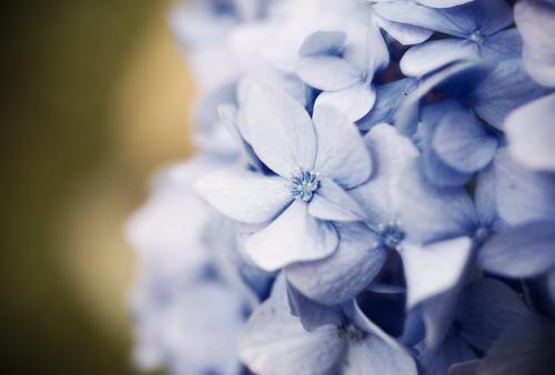 フリー写真素材, 花・植物, アジサイ科, 紫陽花・アジサイ, 紫色の花,