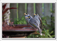 The family that bathes together...-0077 (Barbara J H) Tags: bird nature bravo birdbath wildlife australia qld miner sunshinecoast australianwildlife naturelovers noisyminer maroochydore australiannativebird manorinamelanocephala birdsofaustralia barbarajh countdownto2009yourdiary