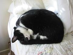 Paddington sleeps on the edge of the bed... (wbaiv) Tags: paddington cat catina bed animal nopeople tuxedo blackandwhite senior present