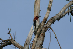 Red-headed-Woodpecker-1