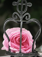 Crowned (Poppins' Garden) Tags: pink rose iron crown gertrudejekyll friendlychallenges achallengeforyou acfy