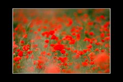 On the way to Oz (Ian Hayhurst) Tags: red field oz sleep july poppy poppies remembrance berkshire veteransday armistice canonef200mmf28liiusm proudshopper herbiseed