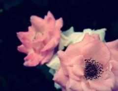 Rose. (mao_lini) Tags: pink flowers roses white nature rose rosa natura fiori bianco picnik naturelovers aplusphoto colourartaward colorfullaward